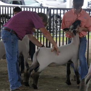 Judge looking atv sheep