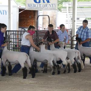 Mercer County Fair Sheep Show 2020